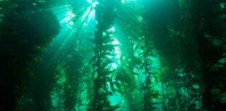 Foreste di alghe
