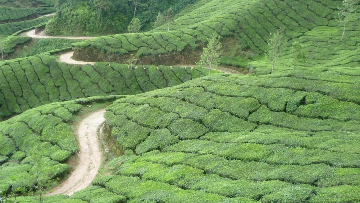 produzione di tè