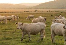 Riciclaggio di bestiame