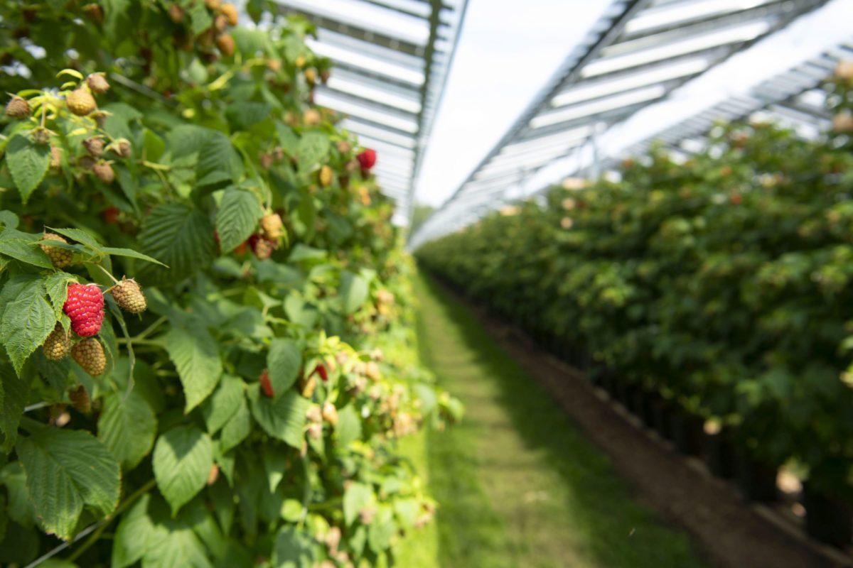 Agrofotovoltaico, così lamponi e pannelli solari convivono