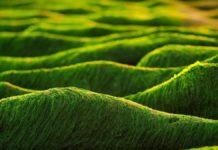 Alghe per biocarburanti