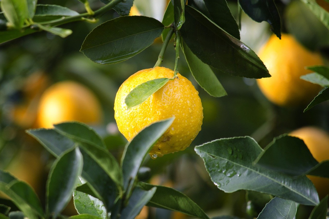 Citrus Black Spot