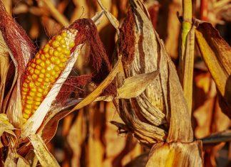 Climate change: senza adattamento, a rischio ¼ dei raccolti