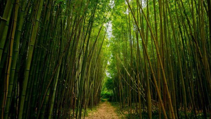Nasce Forever Zero CO2, il progetto italiano per azzerare le emissioni inquinanti con il bambù